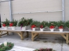 christmas-potted-greens