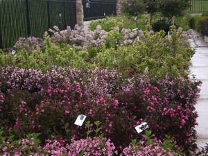 flowering-shrub-nursery-300x225